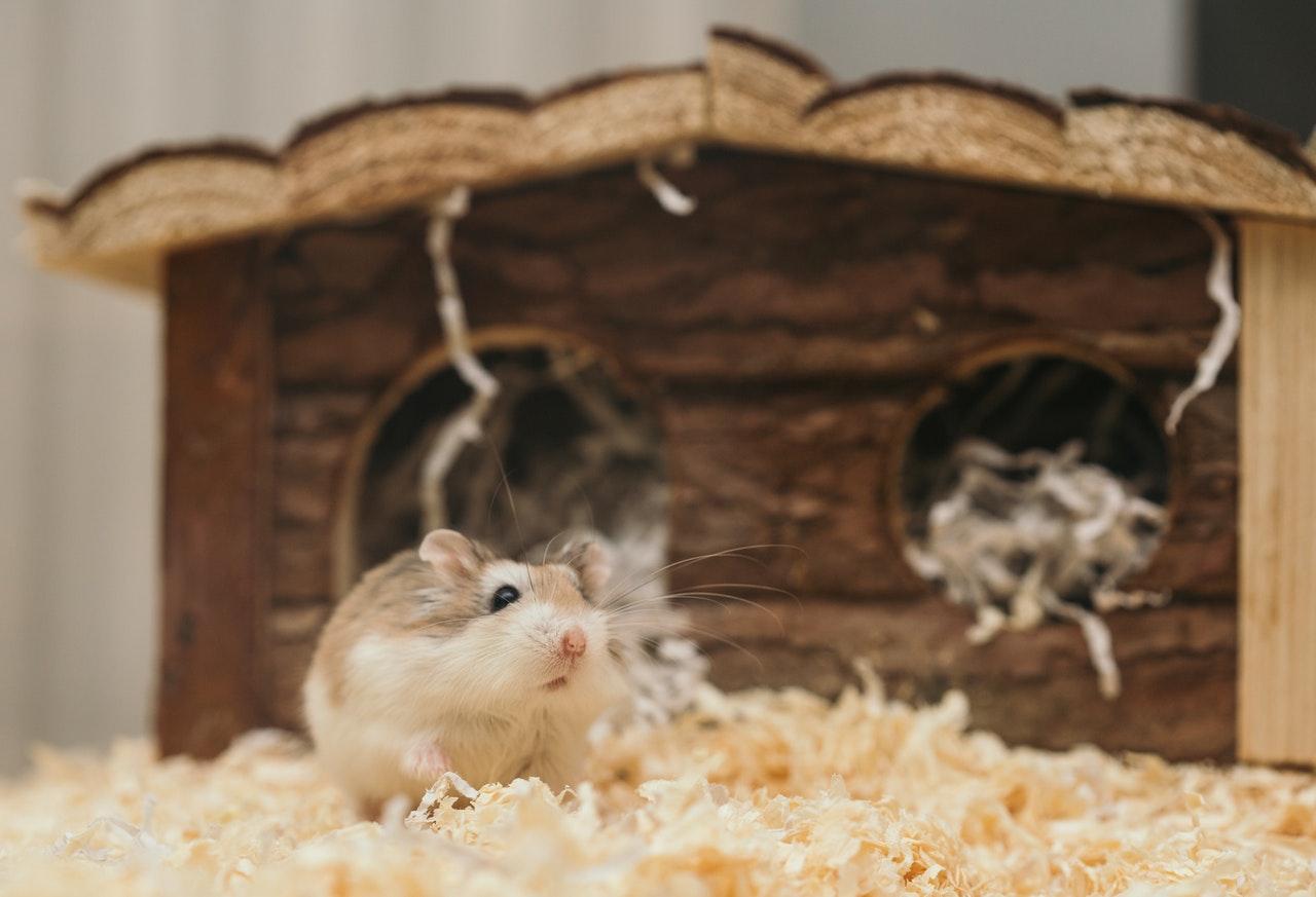 Der syrische Hamster ist nicht schwierig zu züchten. Es scheint jedoch kein geeignetes Haustier für die Kleinsten zu sein.