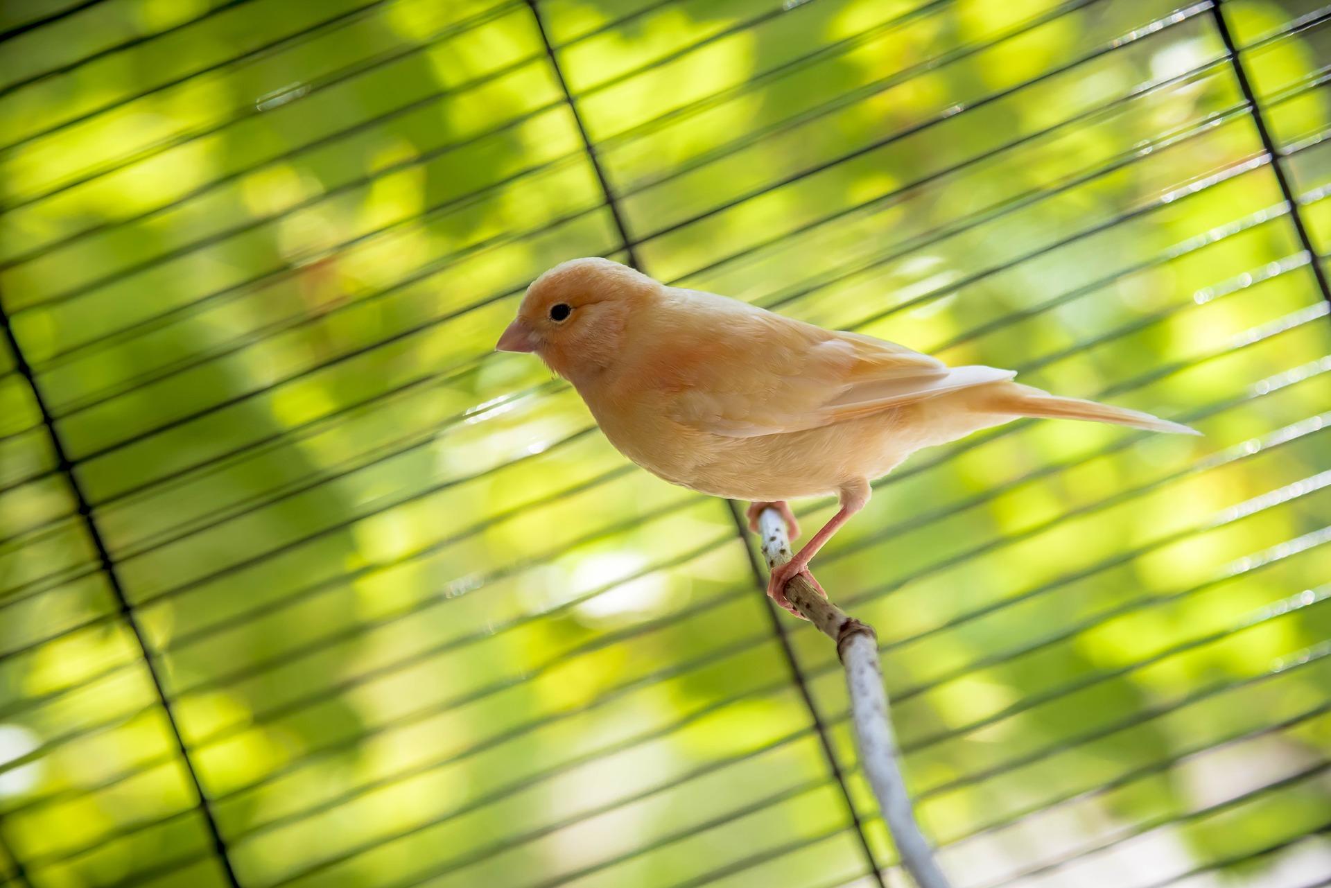 Welche Bedingungen sollten für einen Kanarienvogel, der zu Hause gehalten wird, gegeben sein? Viel Spaß beim Lesen!