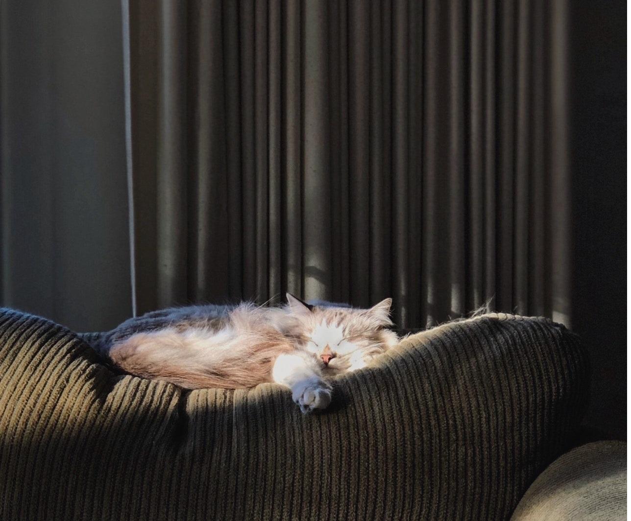 Die Sibirische Neva Masquerade ist eine große Katze mit blauen Augen, seidigem Fell und Colorpoint.