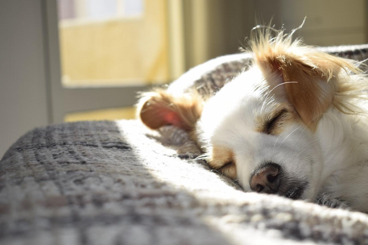 Epilepsie bei Hunden ist eine der häufigeren neurologischen Erkrankungen.