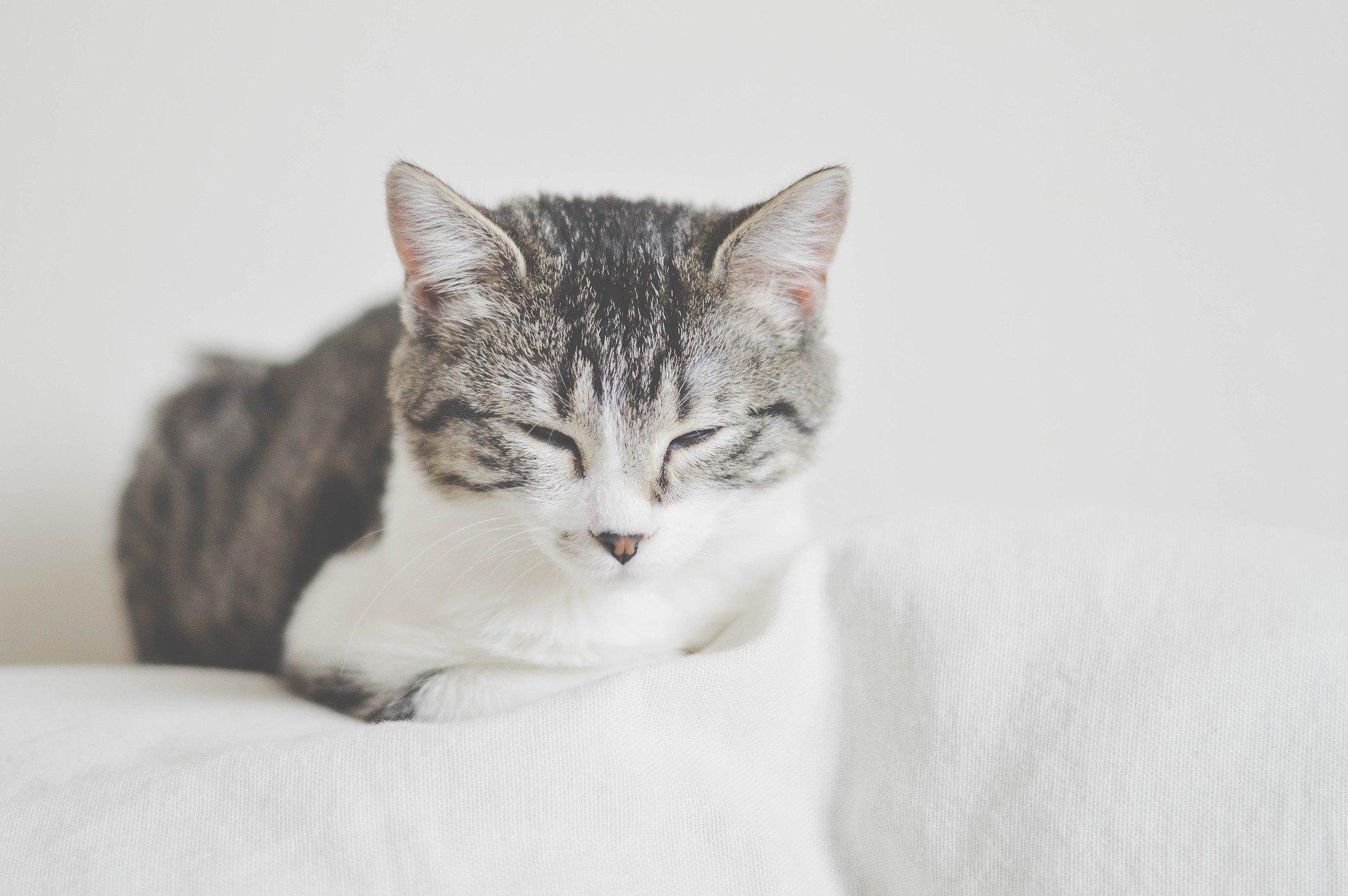 Diabetes bei einer Katze ist eine Krankheit, die sowohl für das Haustier als auch für seinen Besitzer belastend und unangenehm ist. Überprüfen Sie, wie es zu behandeln ist.