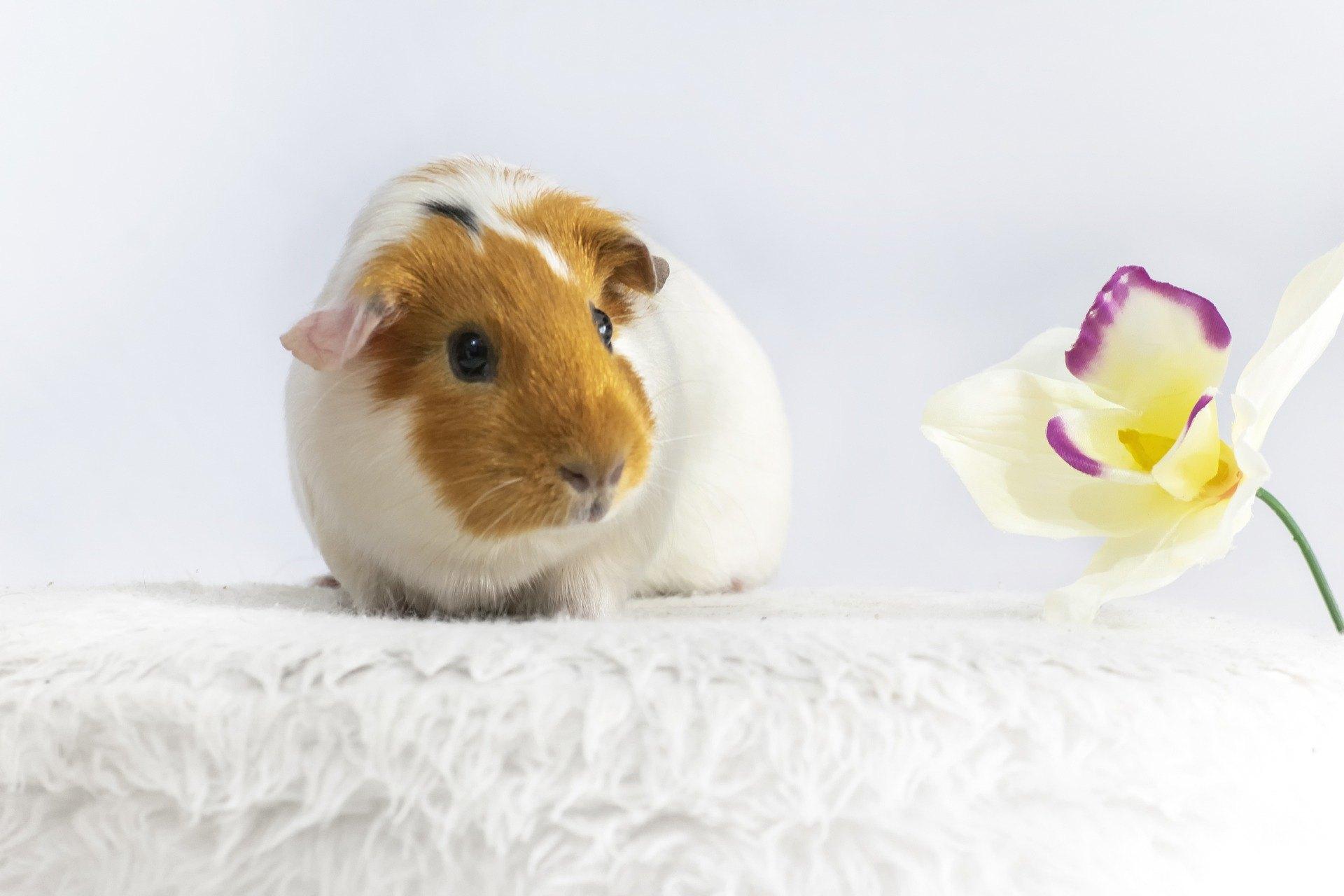 Das Meerschweinchen frisst hauptsächlich Trockenfutter sowie frische Pflanzen und Gemüse. Es ist wichtig daran zu denken, sie mit frischem Wasser zu versorgen.