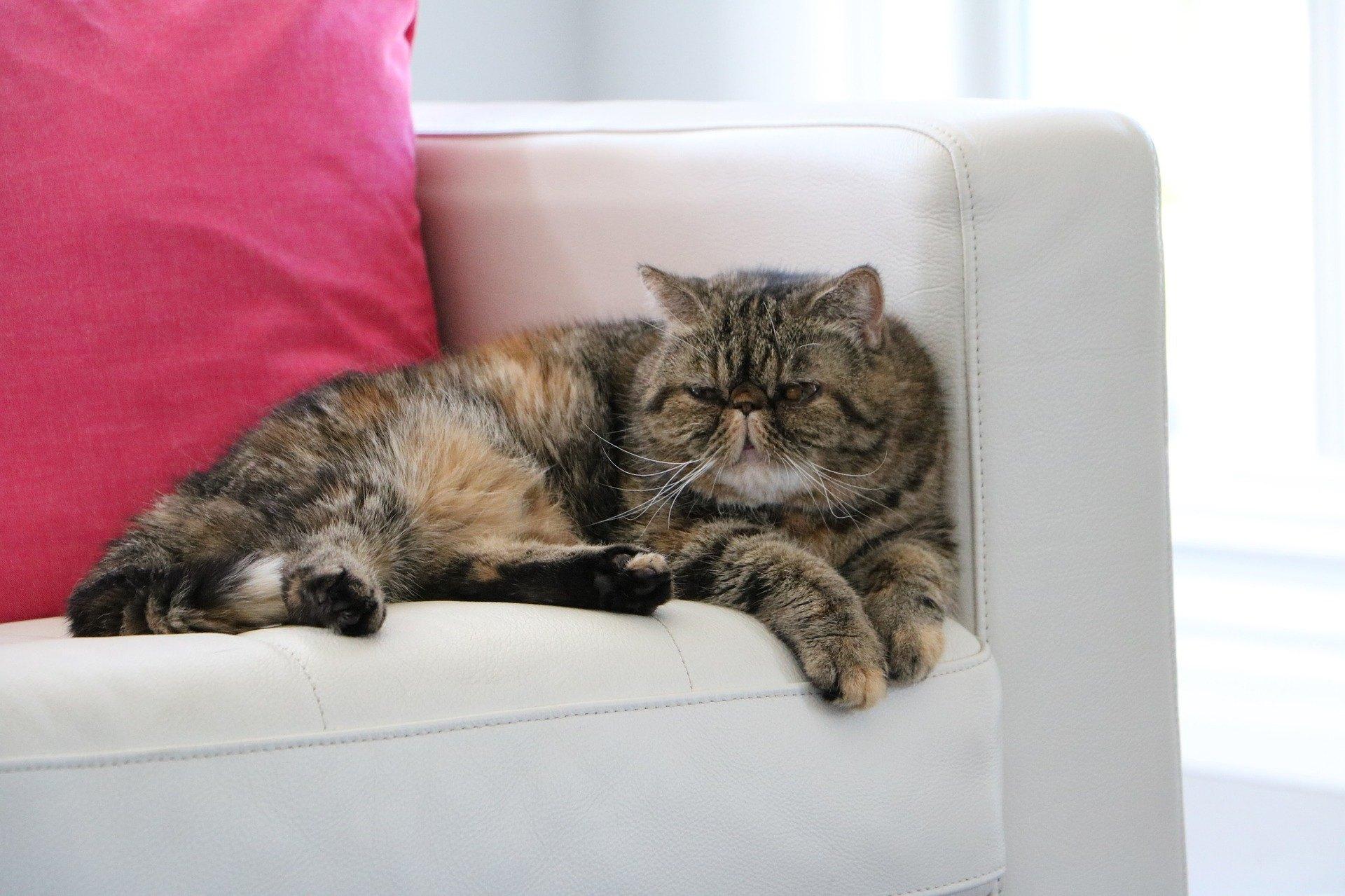 Exotische Katzen sind von Natur aus sanftmütig, fröhlich, freundlich und ihrem Vormund sehr verbunden.