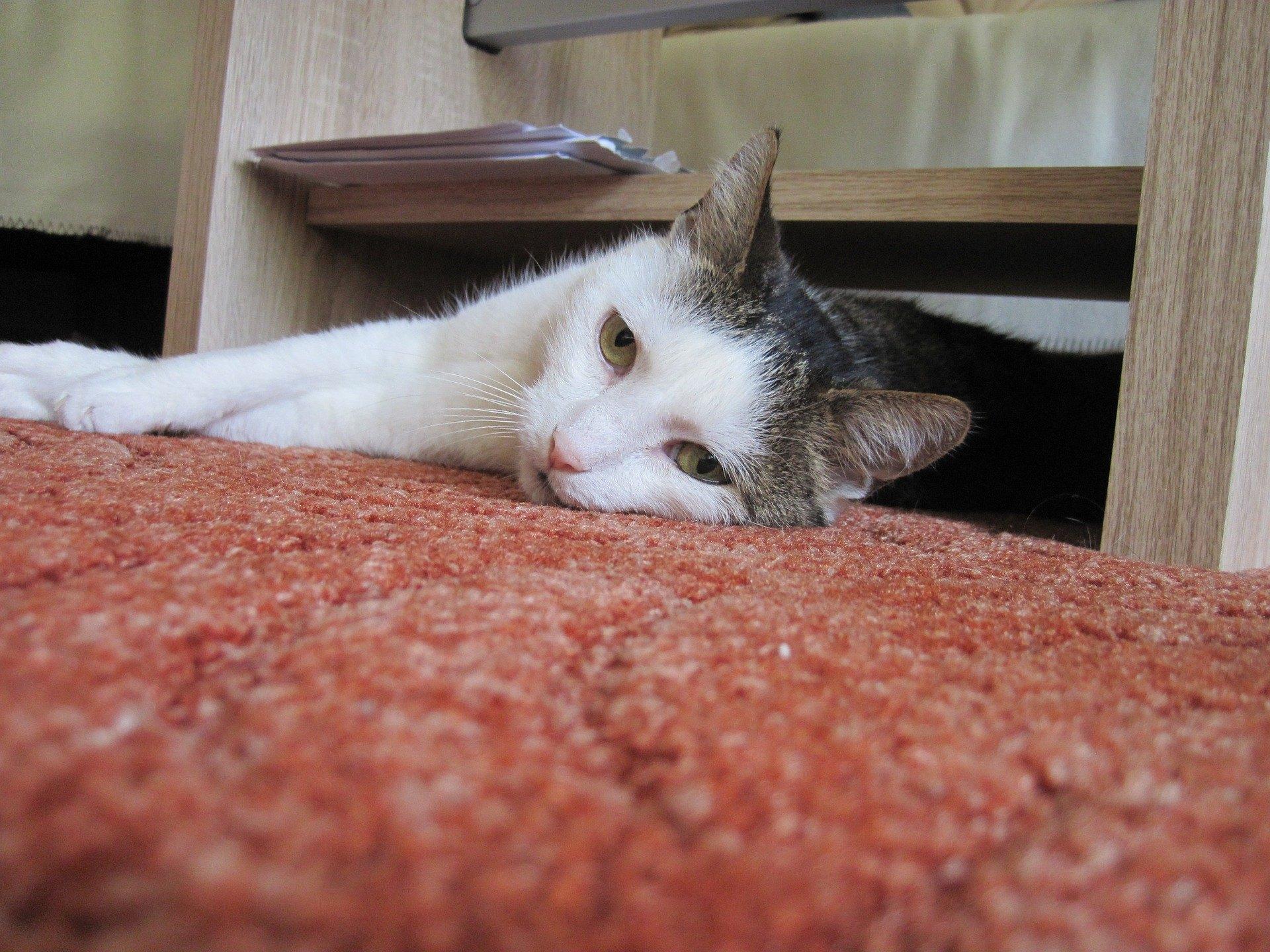 Appetitlosigkeit bei Katzen gefährdet ihre Gesundheit. Auch kurzfristiges Fasten führt zu Leberschäden.