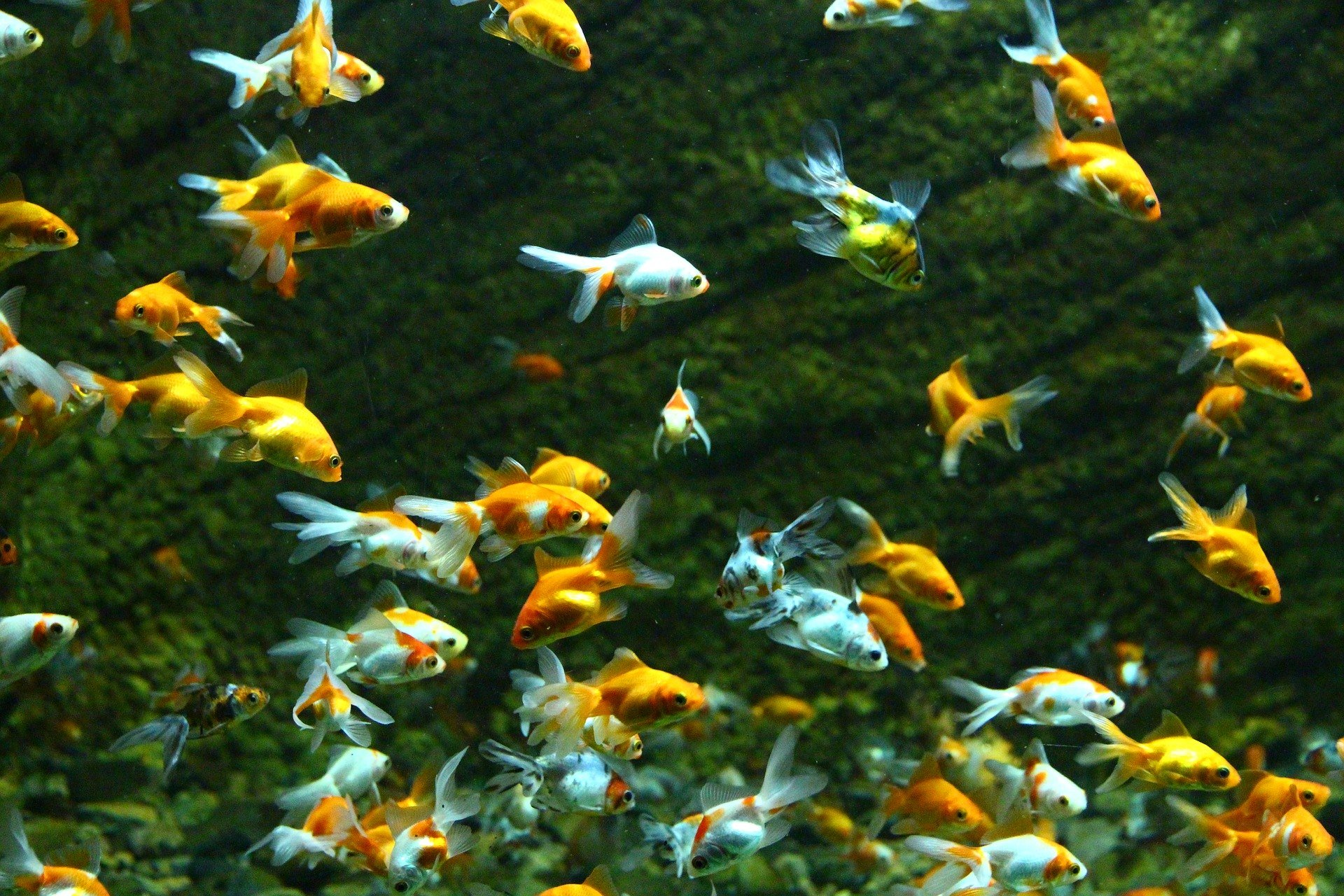 Teichfische machen diese Gartenverzierung attraktiver. Häufige Arten sind Rosenheu und goldener Orfa.
